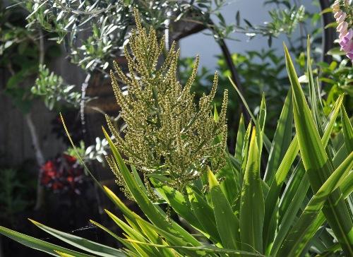 cordyline flowers jun20 (500x364) (2)