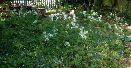 cow parsley in woodland gdn may20 (2) (500x260)