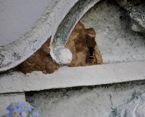 mud dauber wasp may20 (500x404) (2)